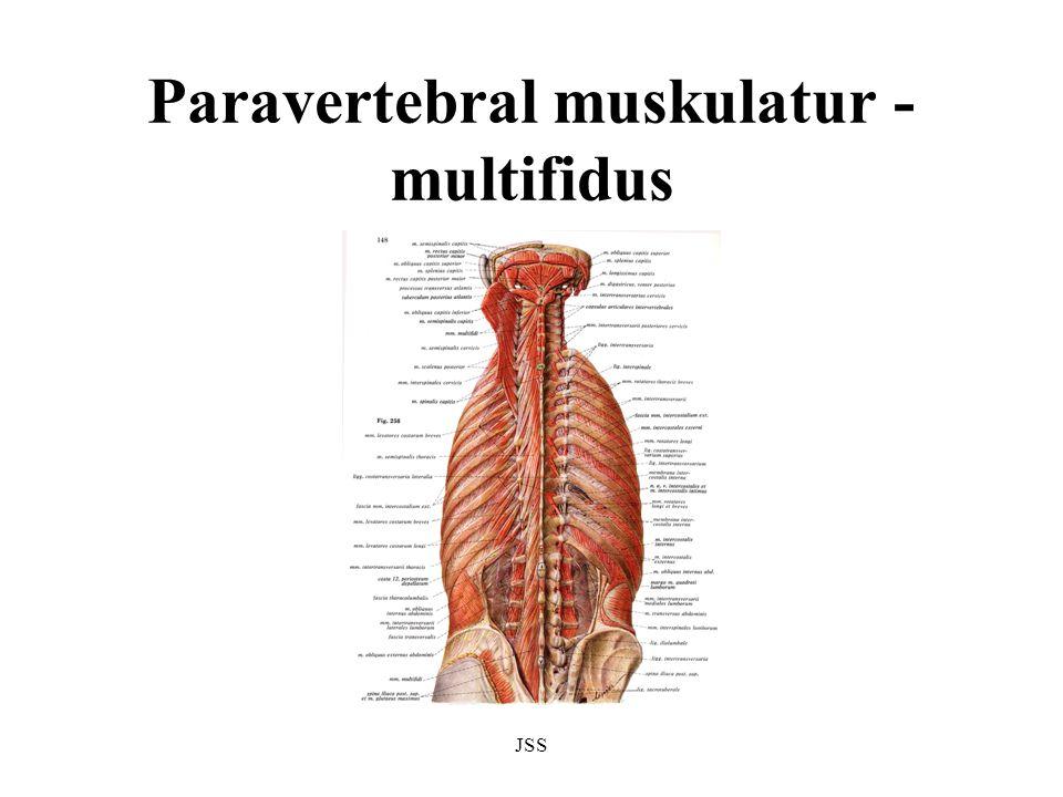 Paravertebral muskulatur - multifidus