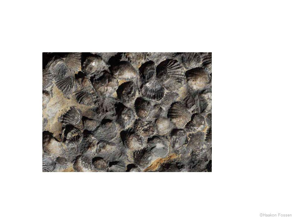 Brachiopoder (Rhynconella nucula), Oslofeltet (kalkstein fra ordovicium)
