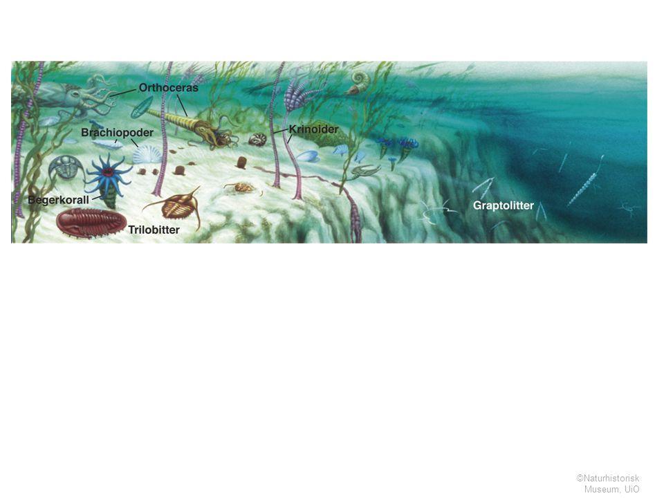 Tegningen er laget av Bogdan Bocianowski, Naturhistorisk Museum, Universitetet i Oslo.