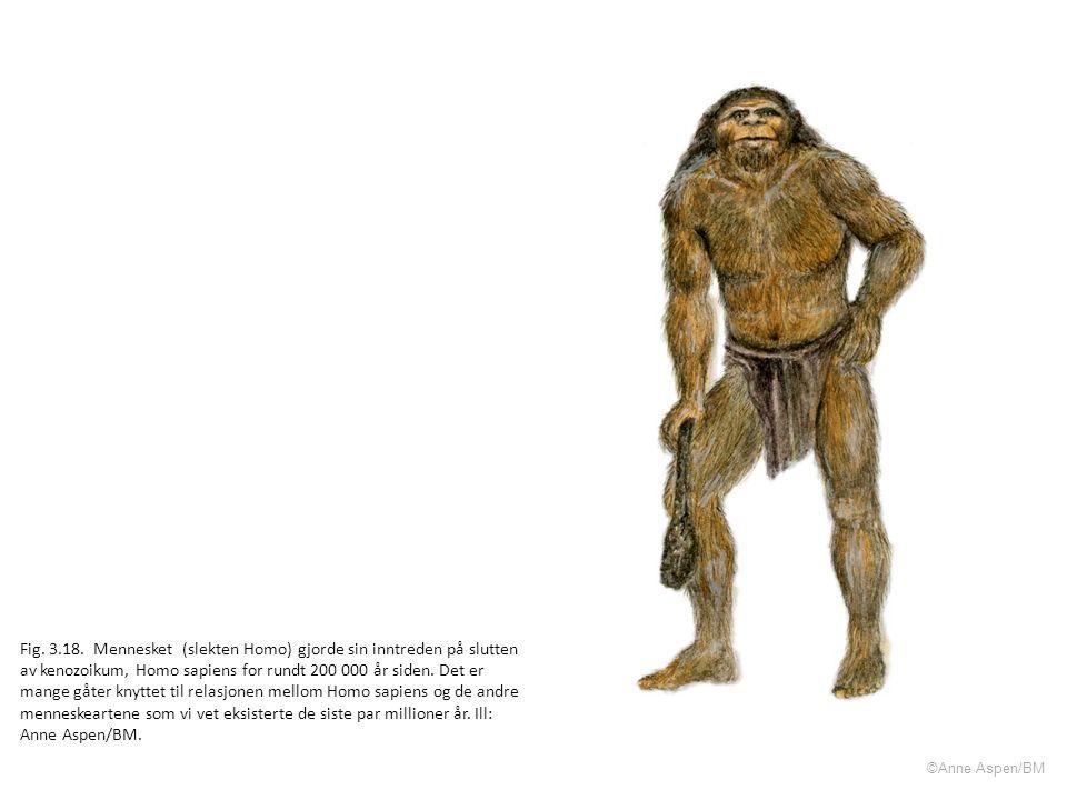 Fig. 3.18. Mennesket (slekten Homo) gjorde sin inntreden på slutten av kenozoikum, Homo sapiens for rundt 200 000 år siden. Det er mange gåter knyttet til relasjonen mellom Homo sapiens og de andre menneskeartene som vi vet eksisterte de siste par millioner år. Ill: Anne Aspen/BM.