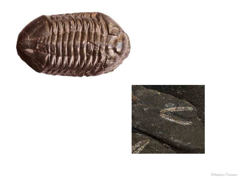 Trilobitt (Asaphus) og graptolitt (Dicellograptus)