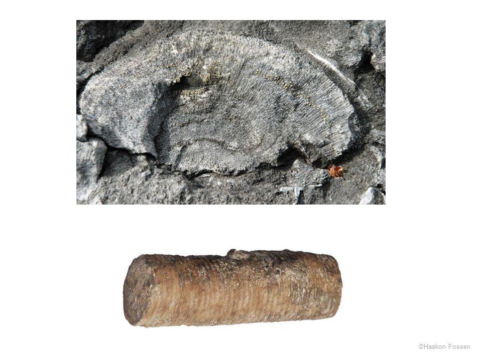 Bikakekorall, Langøya, Oslofeltet + krinoidestilk (fragment)