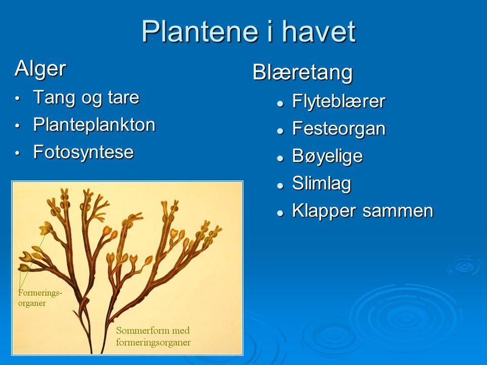 Plantene i havet Alger Blæretang Tang og tare Flyteblærer