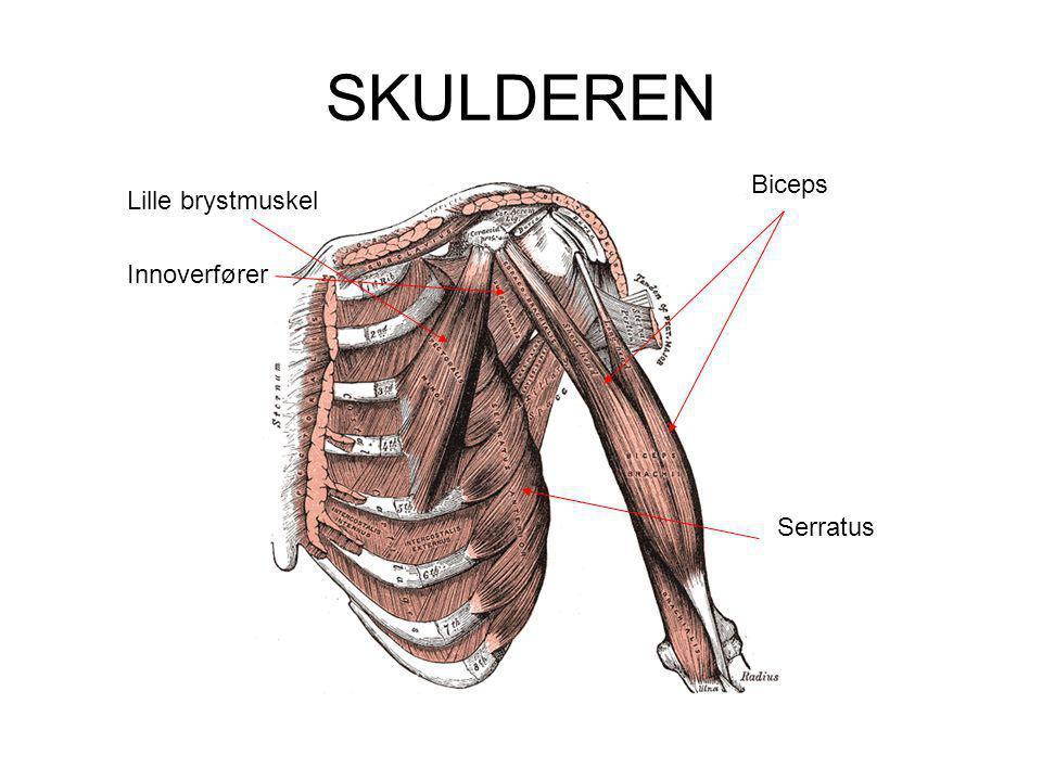 SKULDEREN Biceps Lille brystmuskel Innoverfører Serratus