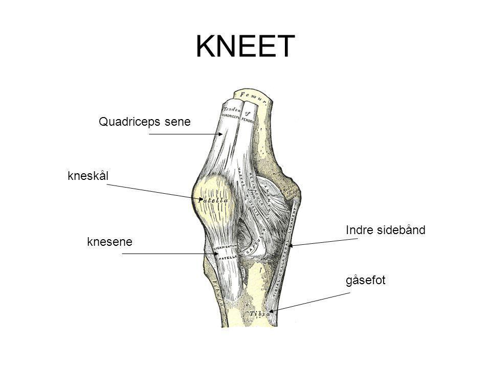 KNEET Quadriceps sene kneskål Indre sidebånd knesene gåsefot