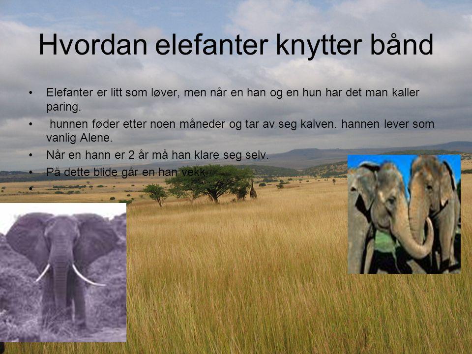 Hvordan elefanter knytter bånd