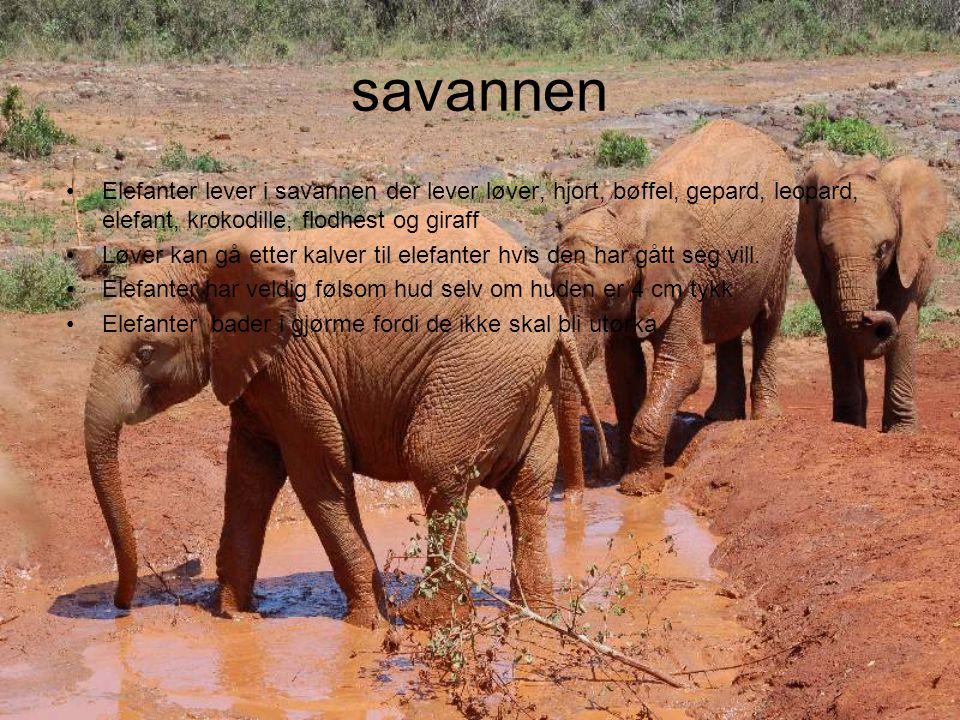 savannen Elefanter lever i savannen der lever løver, hjort, bøffel, gepard, leopard, elefant, krokodille, flodhest og giraff.