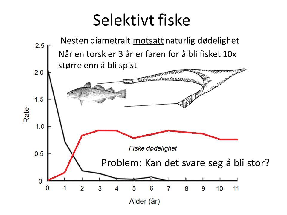 Selektivt fiske Problem: Kan det svare seg å bli stor