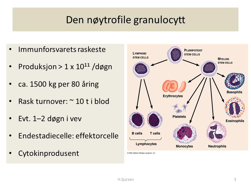 Den nøytrofile granulocytt