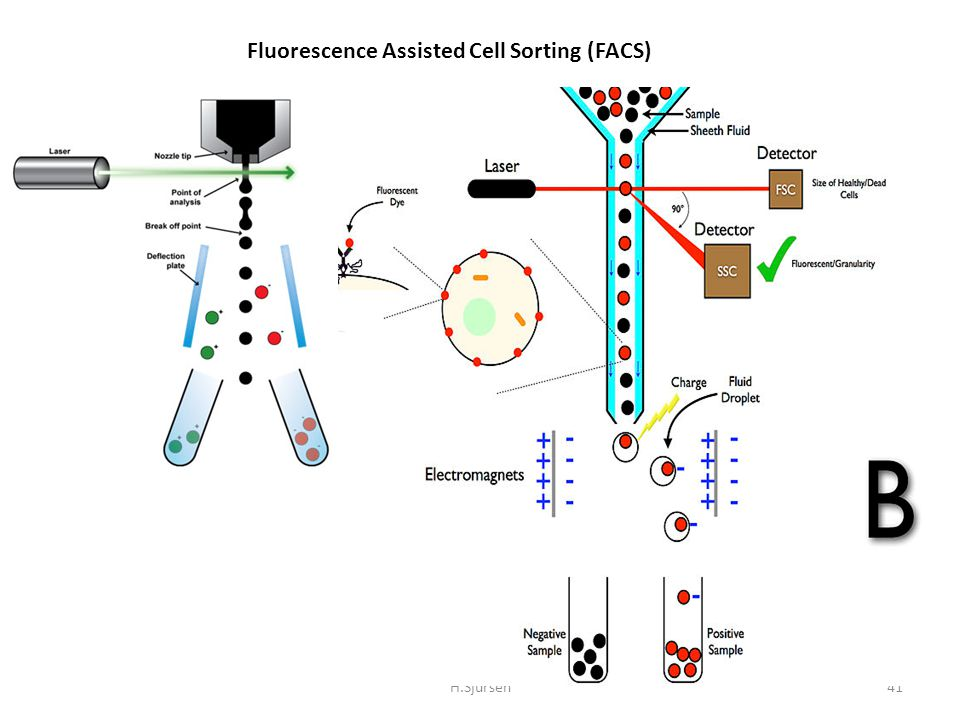 Fluorescence Assisted Cell Sorting (FACS)