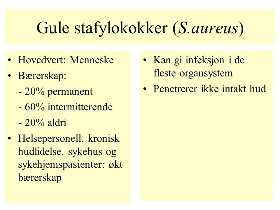 Gule stafylokokker (S.aureus)
