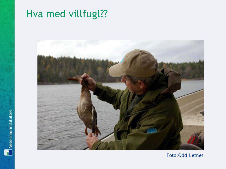 Hva med villfugl Foto:Odd Letnes