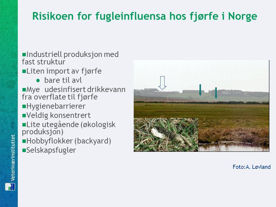 Risikoen for fugleinfluensa hos fjørfe i Norge