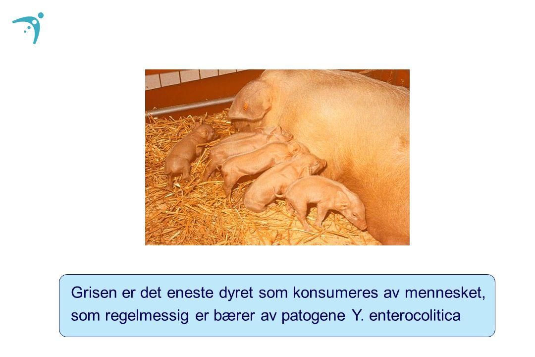 Grisen er det eneste dyret som konsumeres av mennesket,