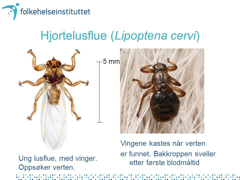 Hjortelusflue (Lipoptena cervi)