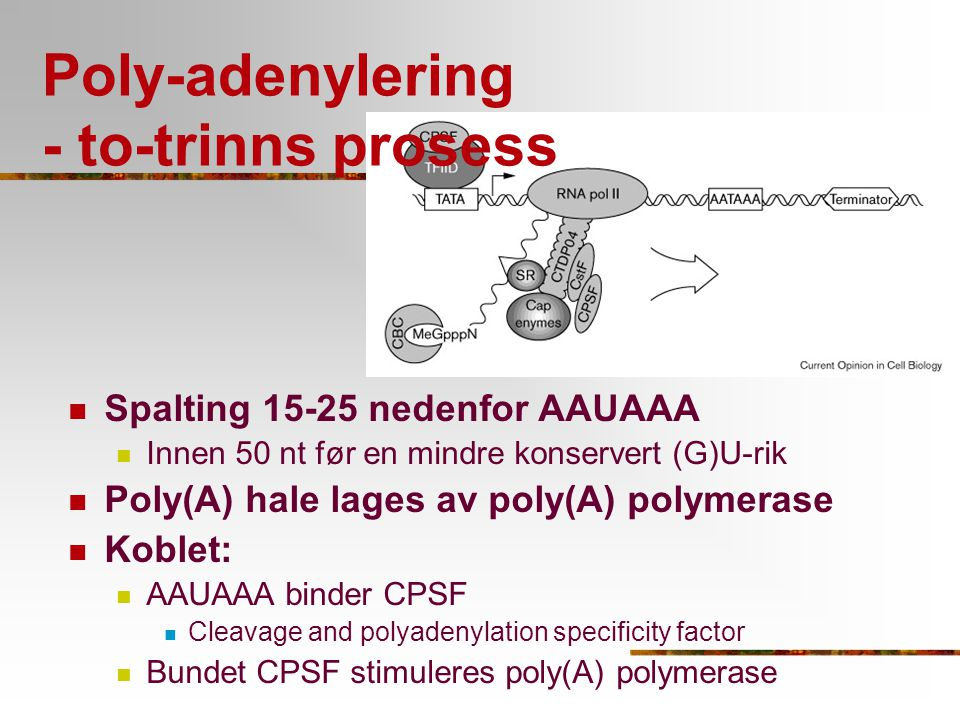 Poly-adenylering - to-trinns prosess
