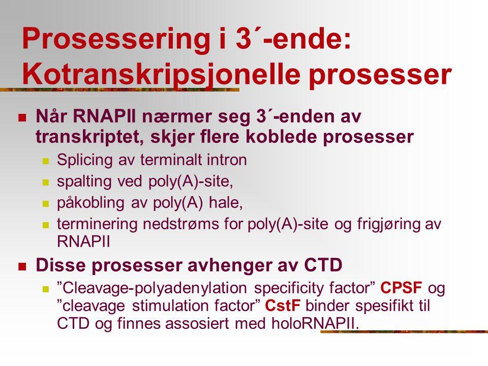 Prosessering i 3´-ende: Kotranskripsjonelle prosesser