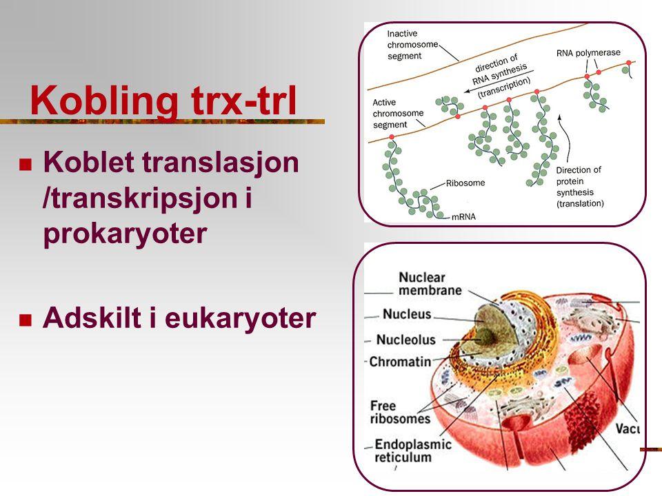 Kobling trx-trl Koblet translasjon /transkripsjon i prokaryoter