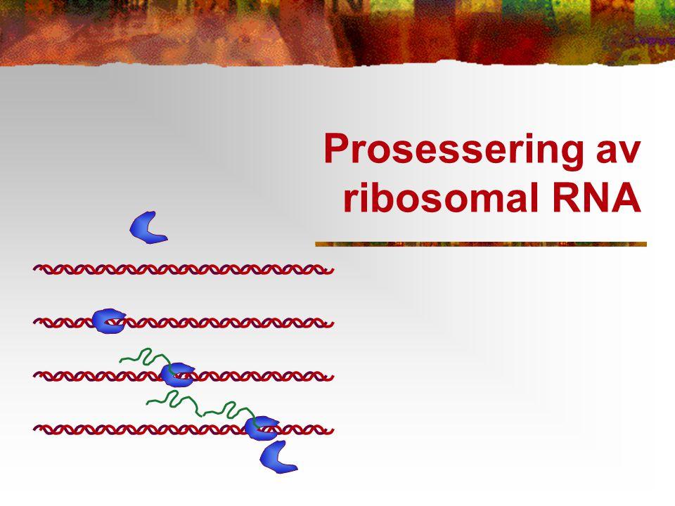 Prosessering av ribosomal RNA