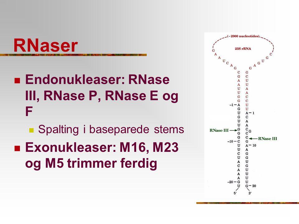 RNaser Endonukleaser: RNase III, RNase P, RNase E og F