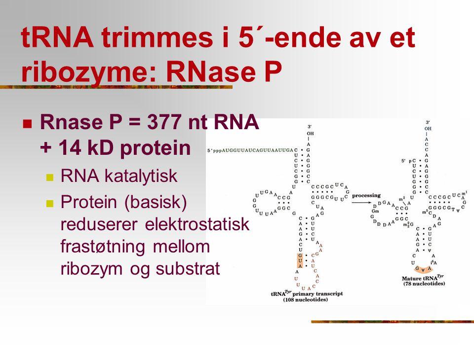 tRNA trimmes i 5´-ende av et ribozyme: RNase P