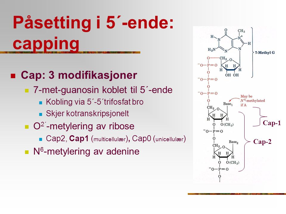 Påsetting i 5´-ende: capping