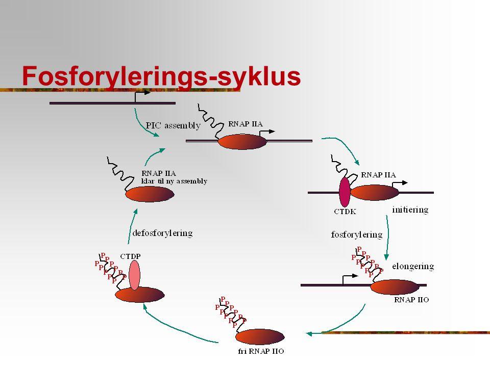 Fosforylerings-syklus