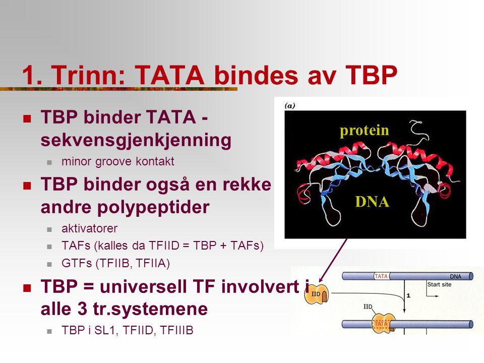 1. Trinn: TATA bindes av TBP