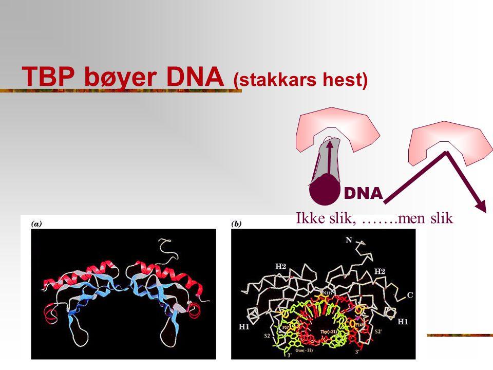 TBP bøyer DNA (stakkars hest)