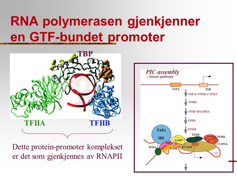 RNA polymerasen gjenkjenner en GTF-bundet promoter