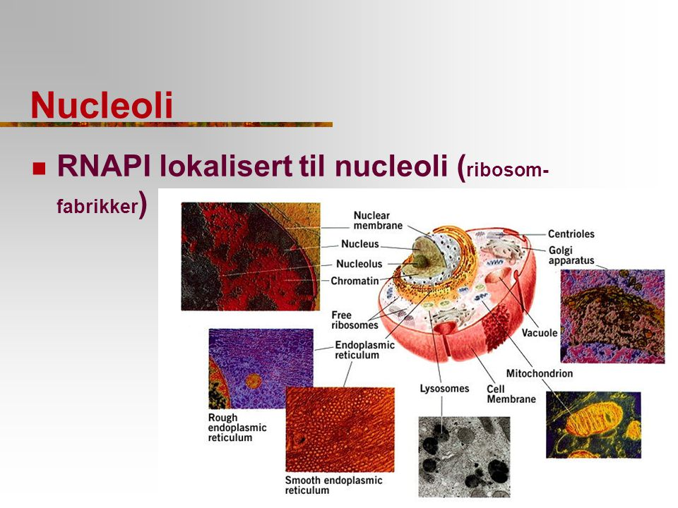 Nucleoli RNAPI lokalisert til nucleoli (ribosom-fabrikker)