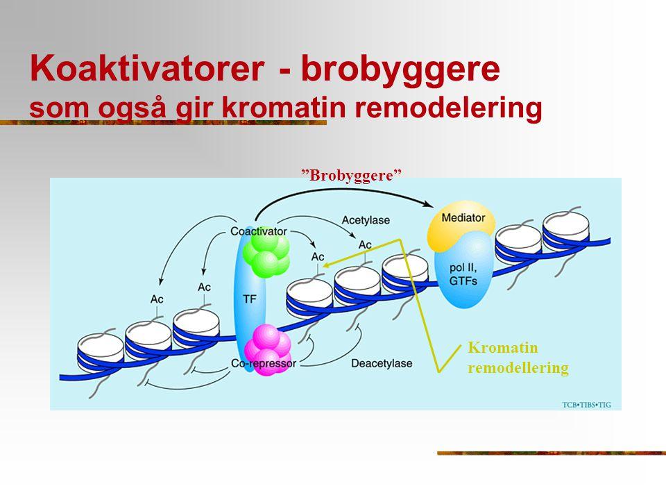 Koaktivatorer - brobyggere som også gir kromatin remodelering