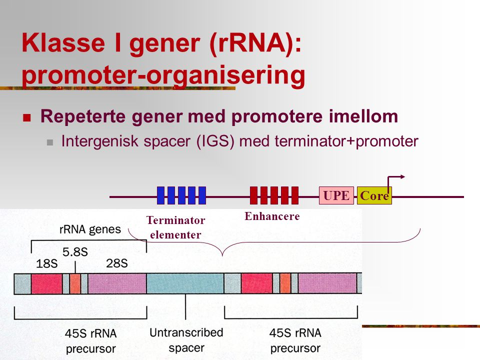 Klasse I gener (rRNA): promoter-organisering