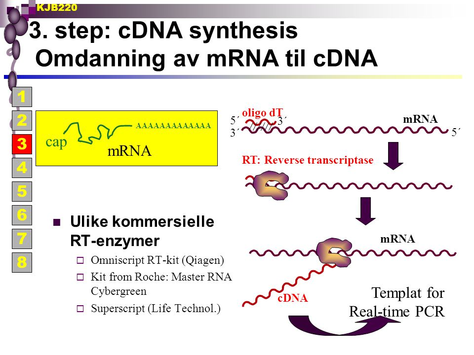 3. step: cDNA synthesis Omdanning av mRNA til cDNA