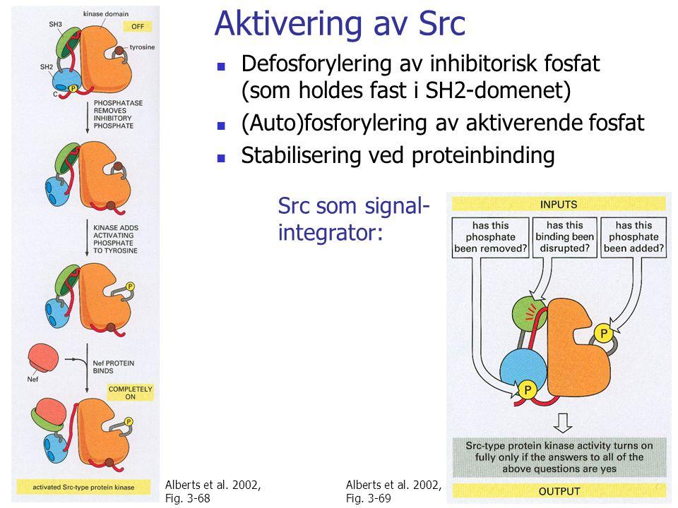 Aktivering av Src Defosforylering av inhibitorisk fosfat (som holdes fast i SH2-domenet) (Auto)fosforylering av aktiverende fosfat.