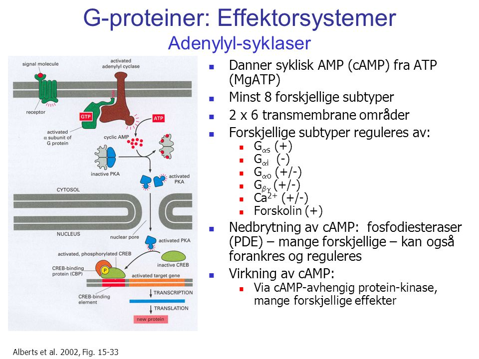 G-proteiner: Effektorsystemer Adenylyl-syklaser