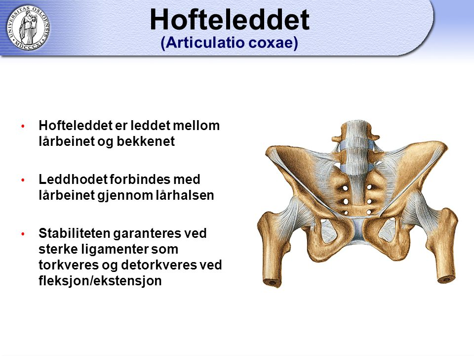 Hofteleddet (Articulatio coxae)