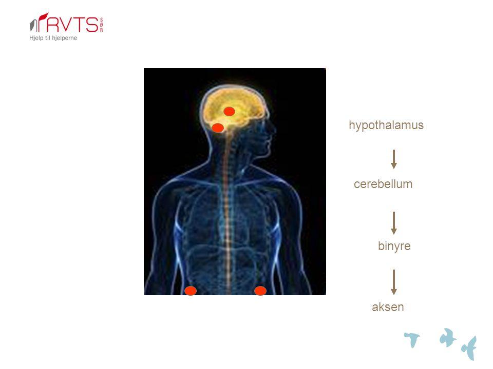 hypothalamus cerebellum binyre aksen
