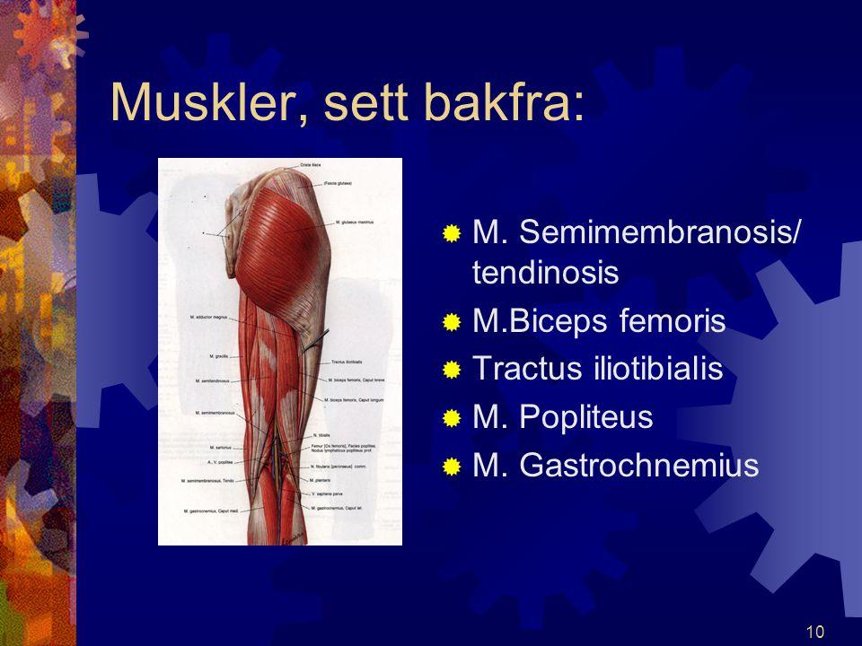 Muskler, sett bakfra: M. Semimembranosis/ tendinosis M.Biceps femoris