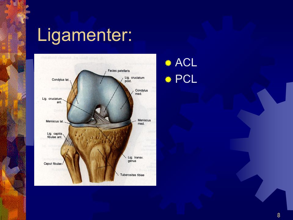 Ligamenter: ACL PCL