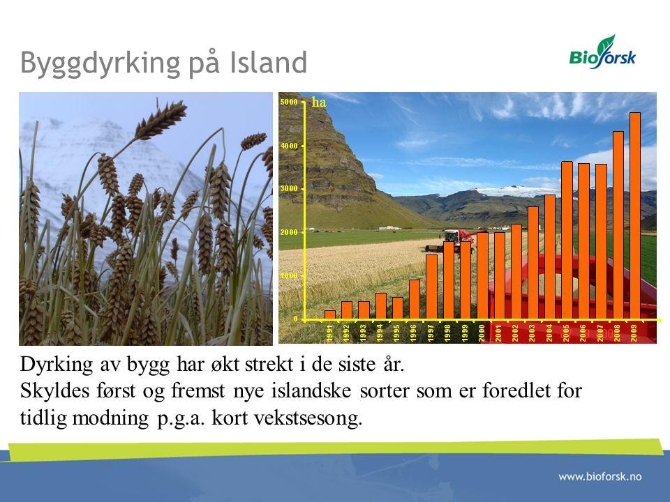 Byggdyrking på Island Dyrking av bygg har økt strekt i de siste år.