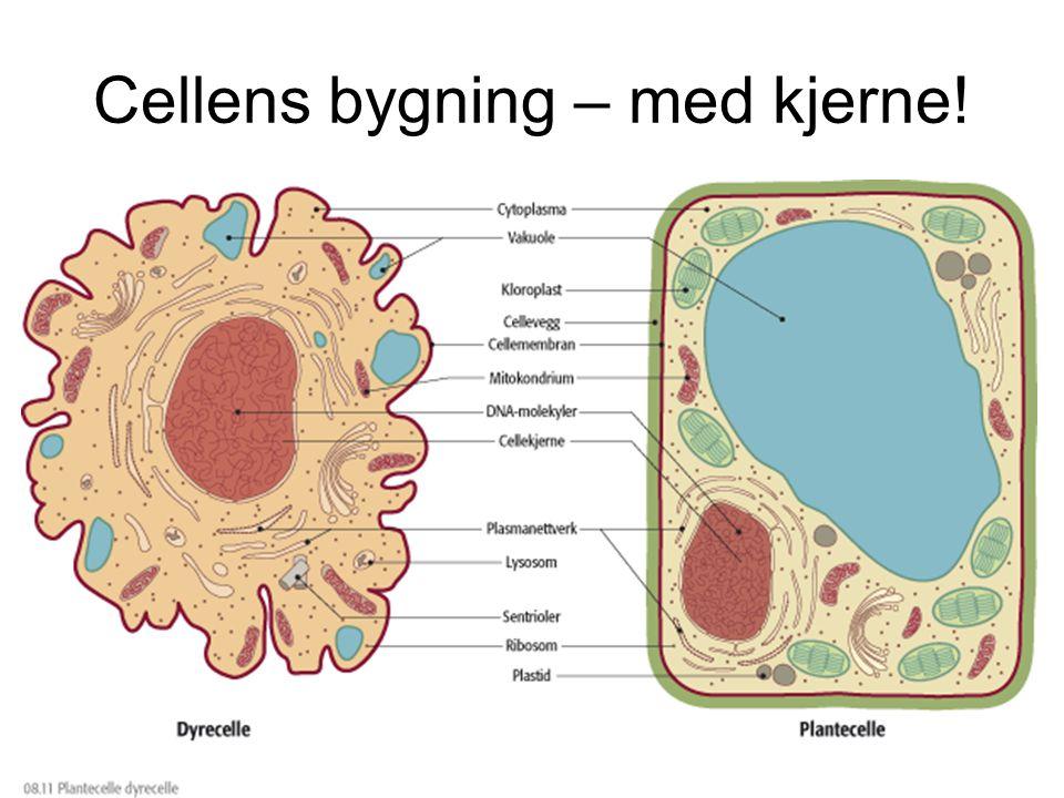 Cellens bygning – med kjerne!