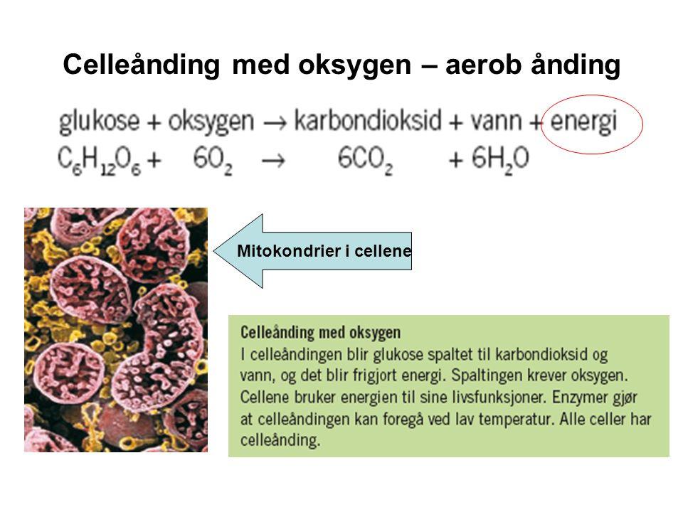 Celleånding med oksygen – aerob ånding