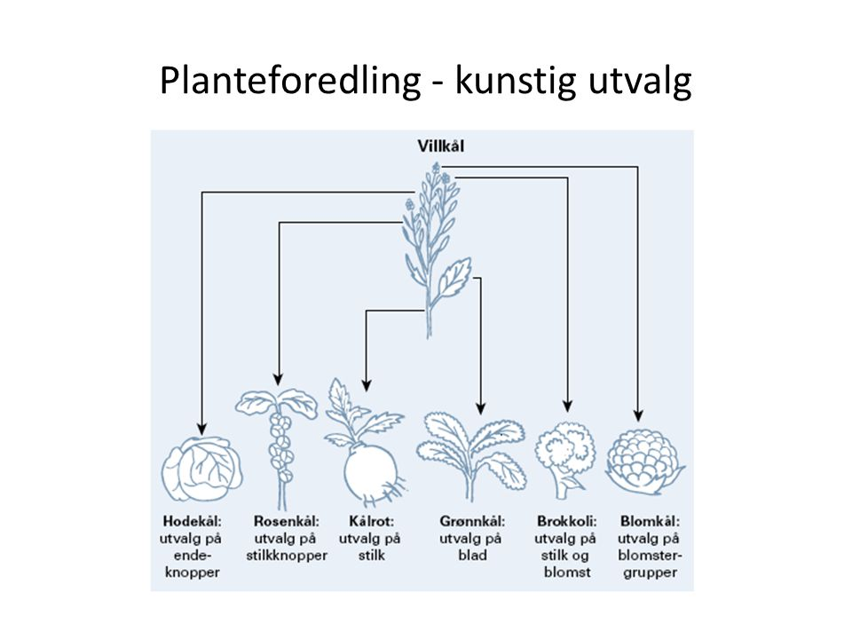 Planteforedling - kunstig utvalg