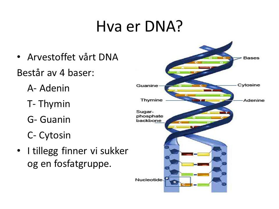 Hva er DNA Arvestoffet vårt DNA Består av 4 baser: A- Adenin