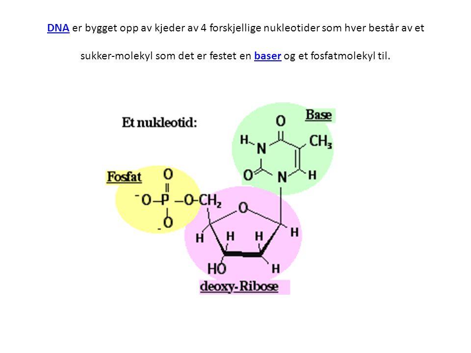 DNA er bygget opp av kjeder av 4 forskjellige nukleotider som hver består av et sukker-molekyl som det er festet en baser og et fosfatmolekyl til.