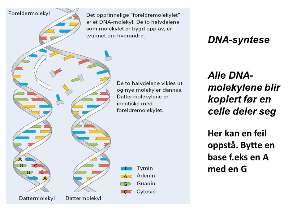 DNA-syntese Alle DNA-molekylene blir kopiert før en celle deler seg.