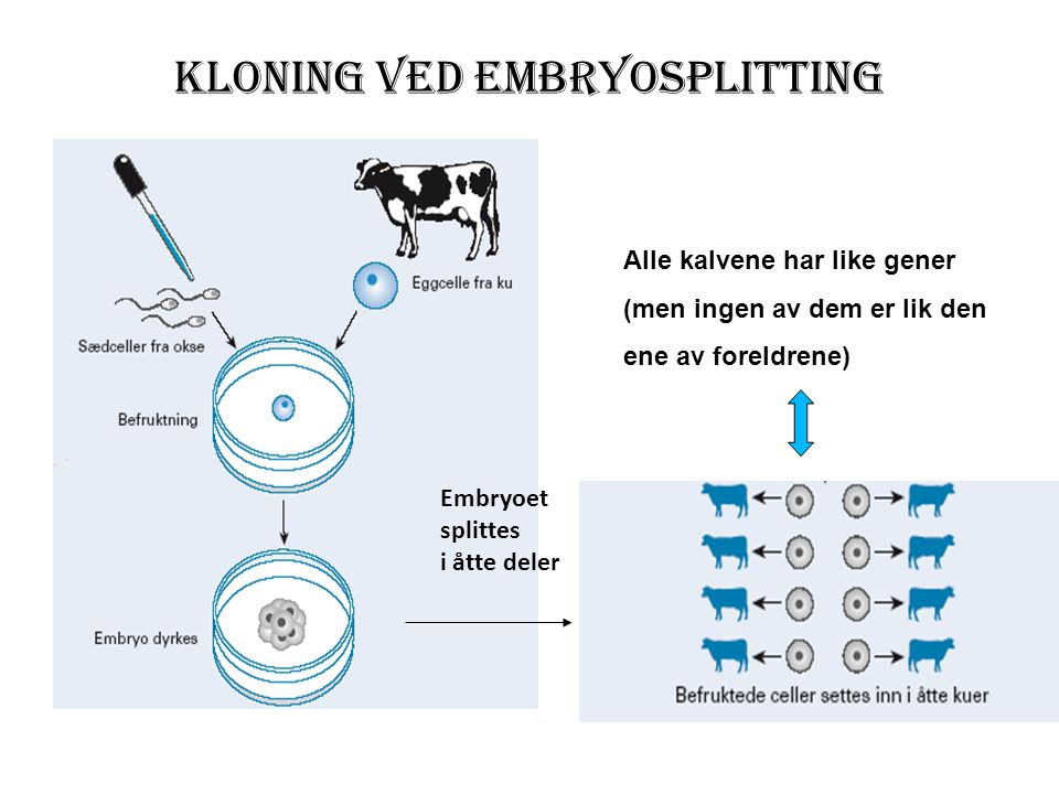 Kloning ved embryosplitting
