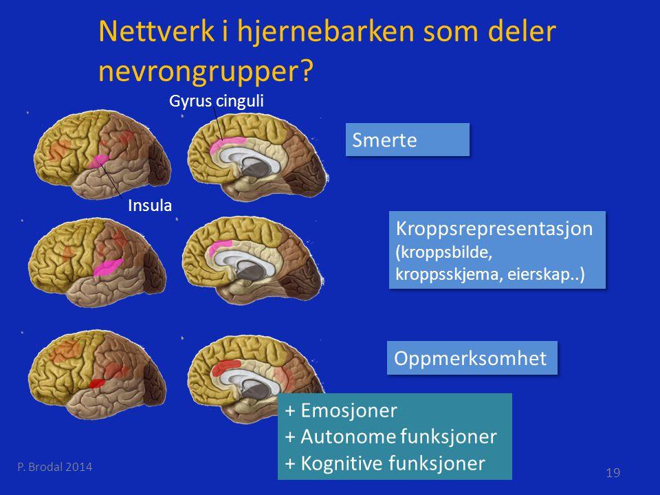 Nettverk i hjernebarken som deler nevrongrupper