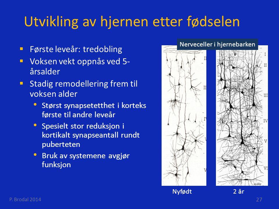 Utvikling av hjernen etter fødselen